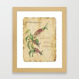 Planimarium - astacoidea justicia brandegeeana Framed Art Print