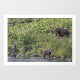 A Group of Kodiak Bears on Kodiak Island Art Print