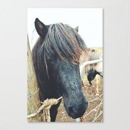 Icelandic Horse - Iceland Canvas Print
