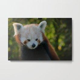 Red Panda Gaze Metal Print