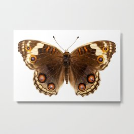 "Butterfly species Junonia orithya ""Eyed Pansy"" Metal Print"