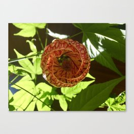 Opening Orchids Canvas Print