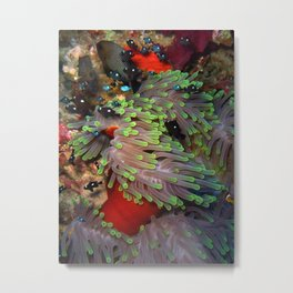 Domino Damselfish in Anemone Metal Print