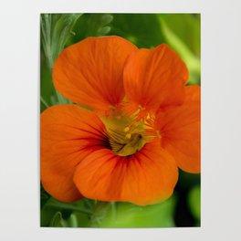 orange majus flower Poster