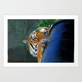 Playful Amur Tiger Art Print