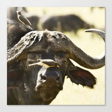 Yellow-billed Oxpeckers, Buphagus africanus, clean a Cape Buffalo, Syncerus caffer Canvas Print
