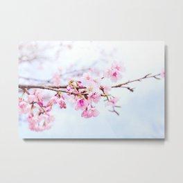 Japanese cherry-blossom tree, 'Oh-kanzakura' Metal Print