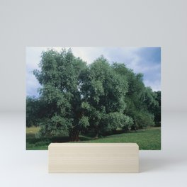 Salix Alba (White Willow) Mini Art Print