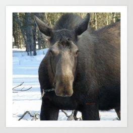 Moose Munching Poplar Lunch Art Print