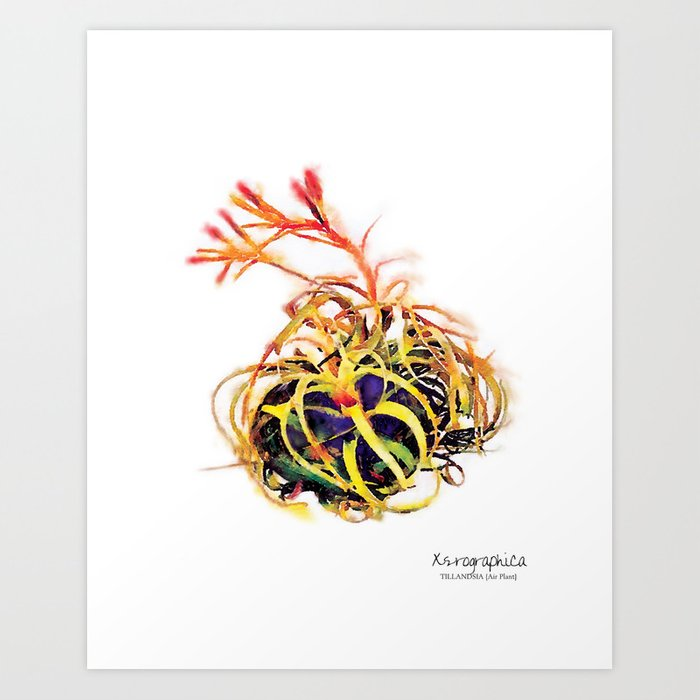 Tillandsia Xerographica Air Plant Watercolor Art Print