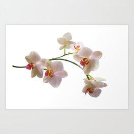 Orchid Spray Art Print