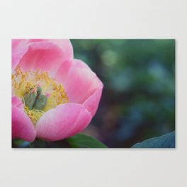 Peony Intoxication Canvas Print