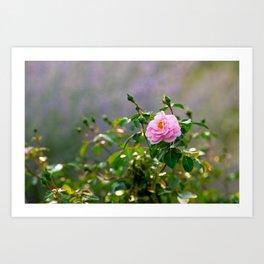 Pink rose flower. Misty morning Art Print