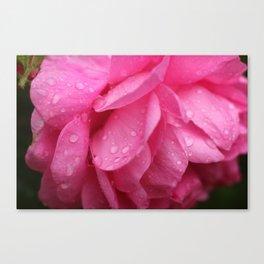 wet rose Canvas Print