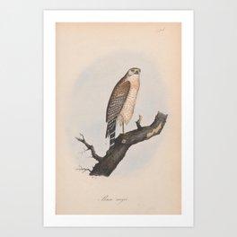 194 Red shouldered Buzzard buteo lineatus4 Art Print