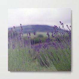 Lavender Fields Forever Metal Print