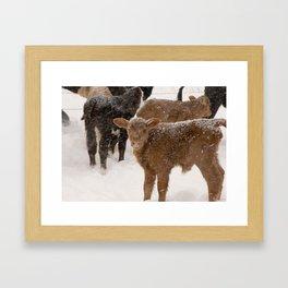 Calves in The Snow Framed Art Print