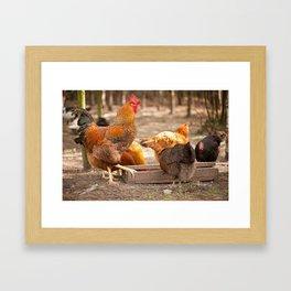 Rhode Island Red chickens eating Framed Art Print