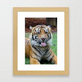 Sumatran tiger Framed Art Print