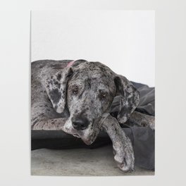 Great Dane waiting Poster