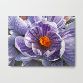Purple and White Striped Crocus Close up Metal Print