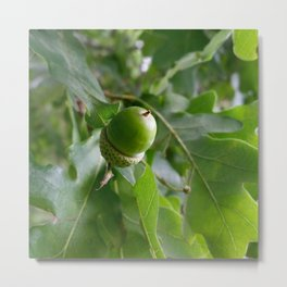 an oak fruit Metal Print
