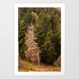 Old spruce tree standing proud Art Print
