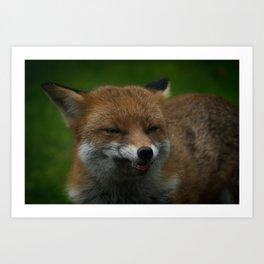 Wild Red Fox Showing Its Teeth Art Print