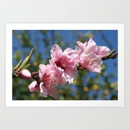 Close Up Peach Tree Blossom Against Blue Sky Art Print