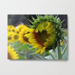 Sunflower Unfolds Metal Print
