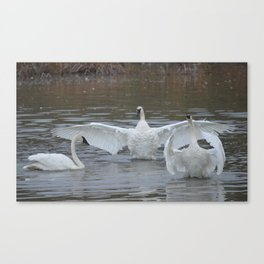 Swan Dance - Two out of Three Canvas Print