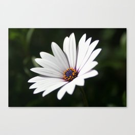 Daisy flower blooming close-up Canvas Print