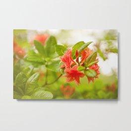 Azalea Il Tasso flowers red Metal Print