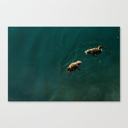 Baby ducks in a lake Canvas Print