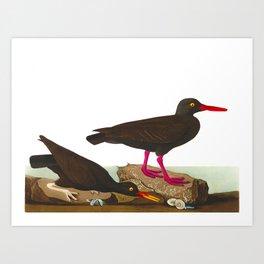 White-legged Oyster-catcher, or Slender-billed Oyster-catcher Bird Art Print