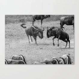 Wildebeest Fight Canvas Print