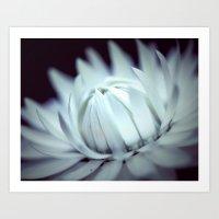 Strawflower in Bloom Art Print