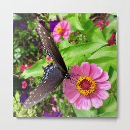 Butterfly on Pink Zinnia Metal Print