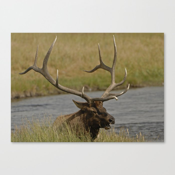 Bull elk with very large antlers Canvas Print