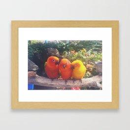 Sun Conures Framed Art Print