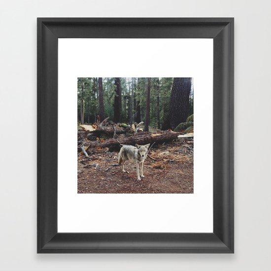 Injured Coyote Framed Art Print