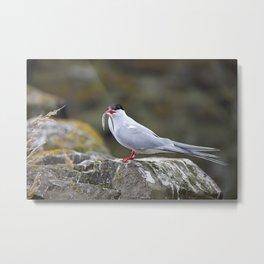 Tern with Sand Eel, Inner Farne Island, Northumberland Metal Print