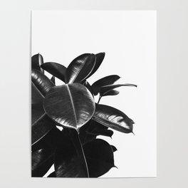 Black Ficus Elastica Poster