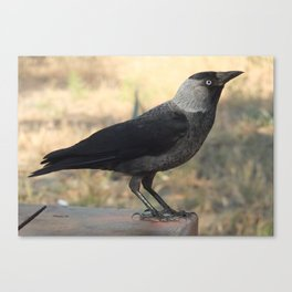Side View Of A Wild Jackdaw Canvas Print