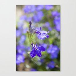 Blue lobelia Canvas Print
