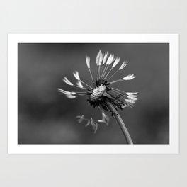 Almost naked black and white dandelion Art Print