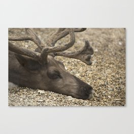 Reindeer Portrait Canvas Print