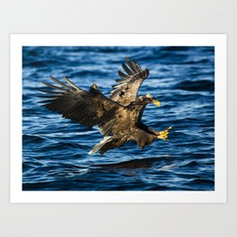Sea Eagle Dives Art Print