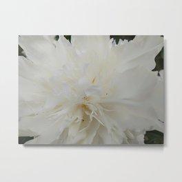 White peony flower Sarah Bernhardt Metal Print