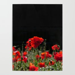Red Poppies in bright sunlight Poster